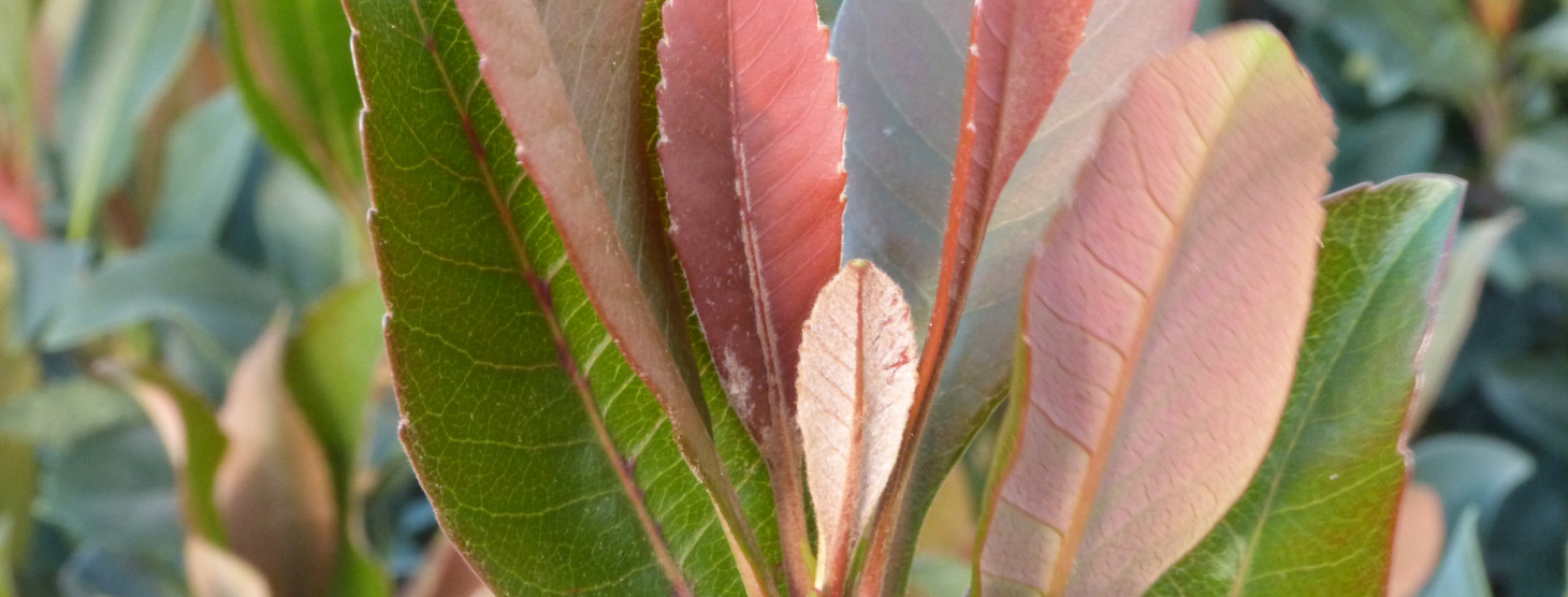 Eriobotyra x hybrida 'Coppertone'