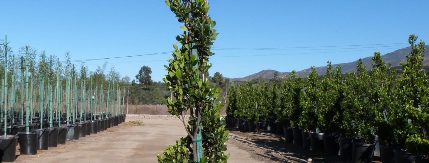Prunus caroliniana 'Compacta'