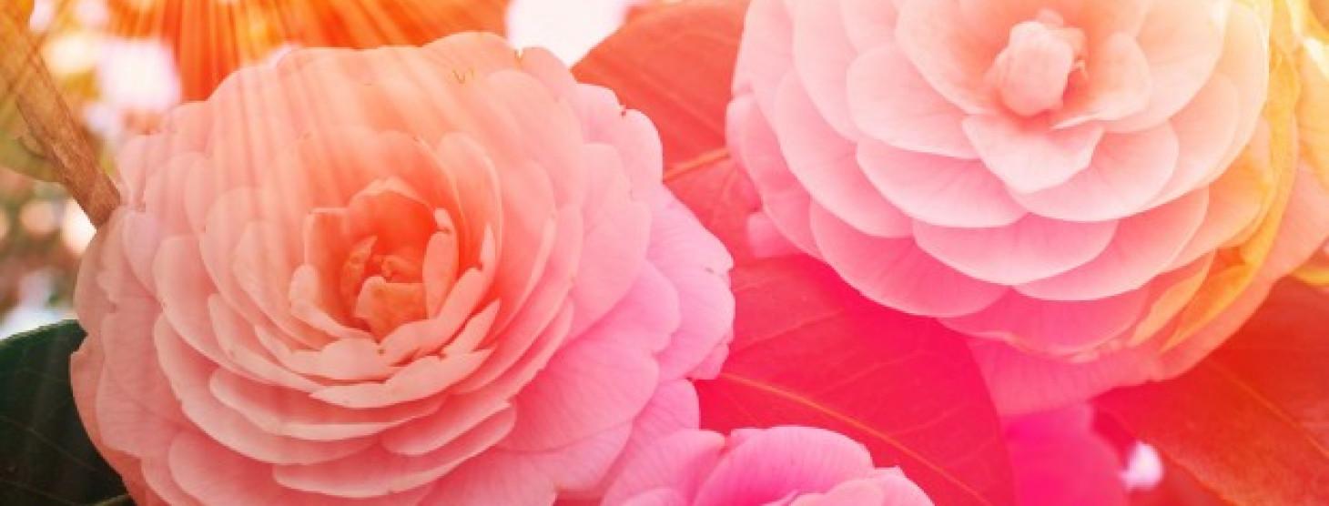 Enchanting Camellias
