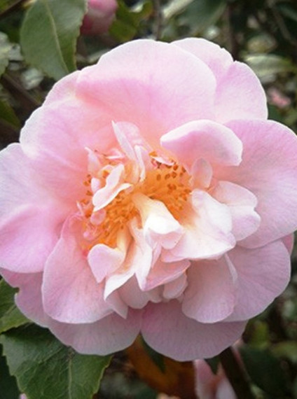 Camellia x <span>'High Fragrance'</span>