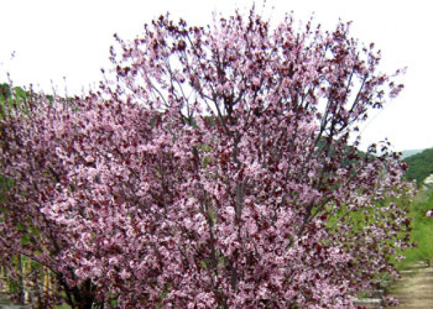 Small Blooming Trees for Spring