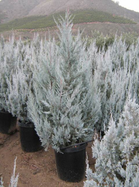 Juniperus scopulorum 'Wichita Blue'