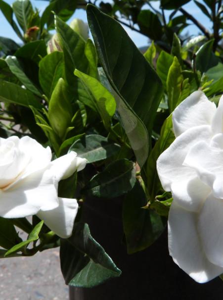 Gardenia Jasminoides Veitchii T Y Nursery