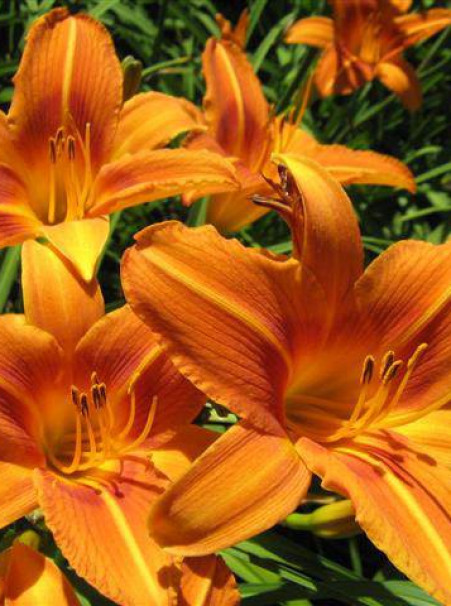 Hemerocallis hybrids <span>'Dark Orange'</span>