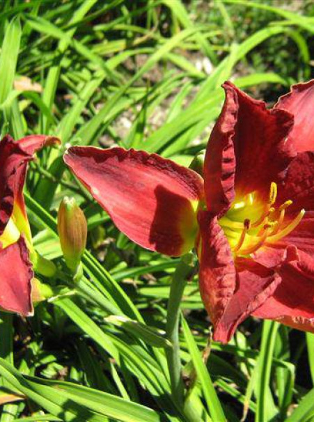 Hemerocallis hybrids <span>'Red Chalice'</span>