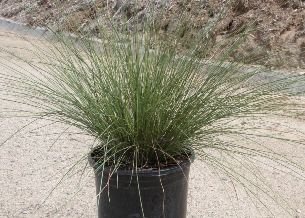 Ornamental grasses offer low-maintenance landscape drama
