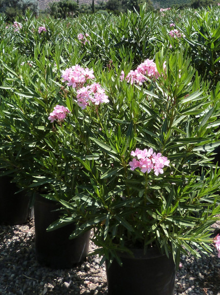 Nerium oleander <span>Light Pink</span>