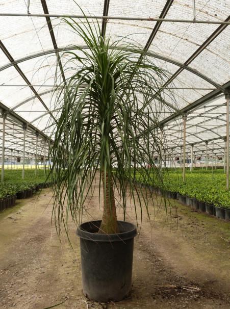 PALM-NOLINA-recurvata-2-e1430784686949 Beaucarnea Recurvata House Plant on