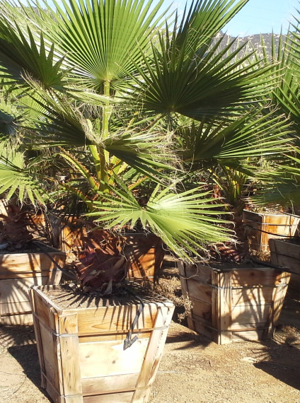 Palm:  Washingtonia robusta