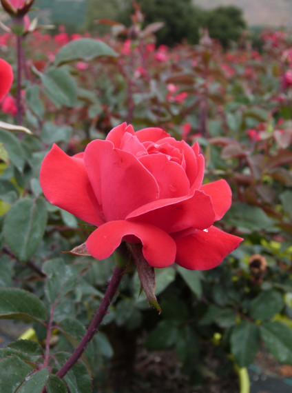 The Knock Out® Family of Roses