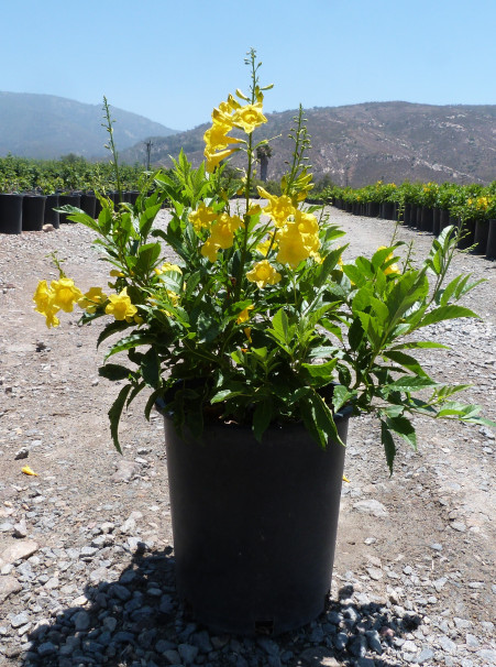 Tecoma stans, <span>Yellow Bells or Esperanza</span>