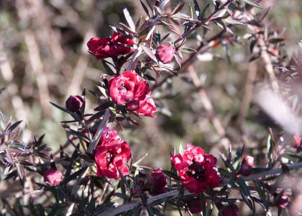 Winter-flowering shrubs? We have them!