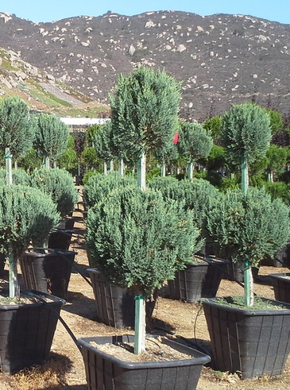 Juniperus chinensis <span>&#8216;Blue Point&#8217;</span>
