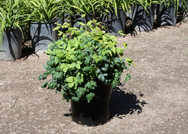 Keep it Low: Dwarf Shrubs for Tight Spaces