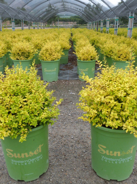 Ligustrum sinense <span>'Sunshine'</span>