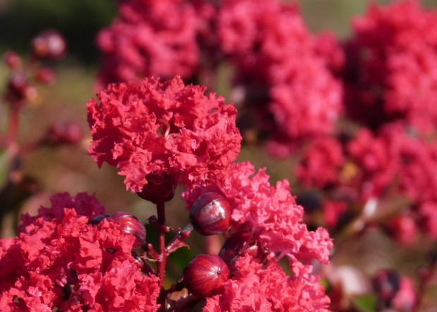 Waterwise, Tough and Gorgeous…Crape Myrtles!