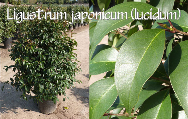 Ligustrum-japonicum-(lucidum)
