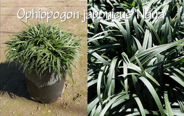 Ophiopogon-japonicus-'Nana'