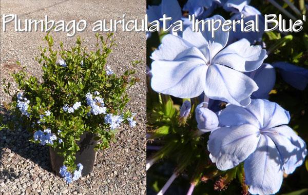 Plumbago-auriculata-'Imperial-Blue'