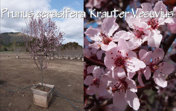 Prunus-cerasifera-'Krauter-Vesuvius'