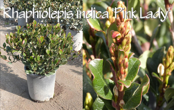 Rhaphiolepis-indica-'Pink-Lady'