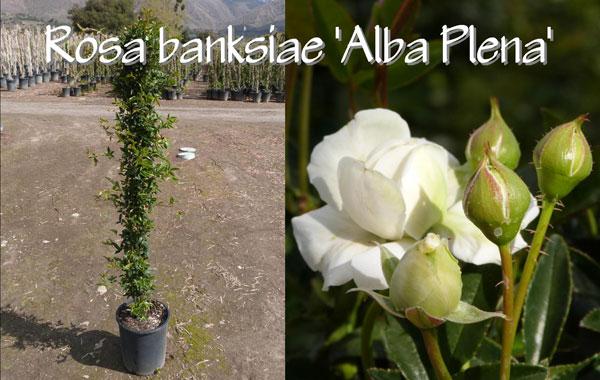 Rosa-banksiae-'Alba-Plena'
