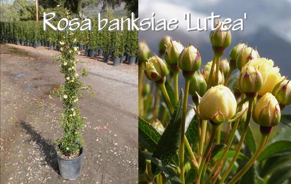 Rosa-banksiae-'Lutea'