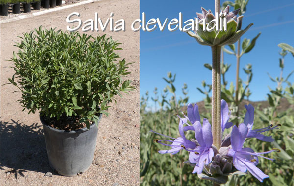 Salvia-clevelandii