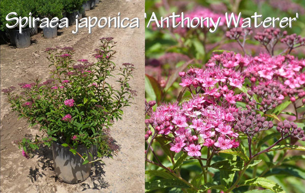 Spiraea-japonica-'Anthony-Waterer'