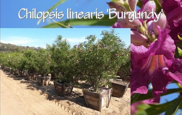 Chilopsis-linearis-'Burgundy'