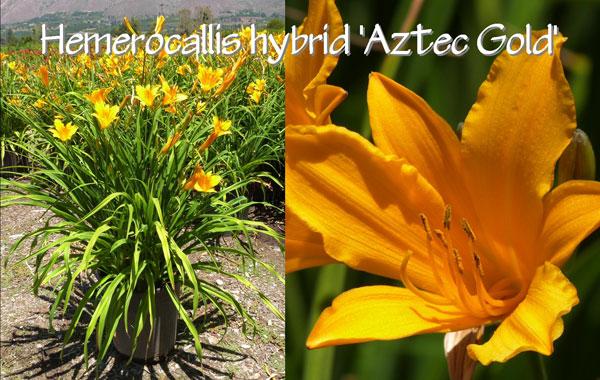 Hemerocallis-hybrid-'Aztec-Gold'