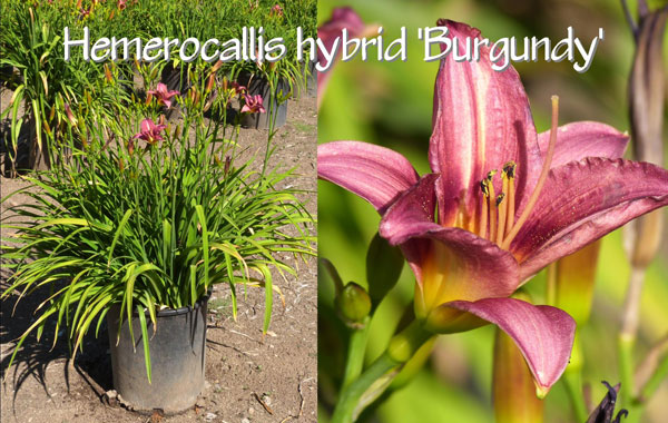 Hemerocallis-hybrid-'Burgundy'