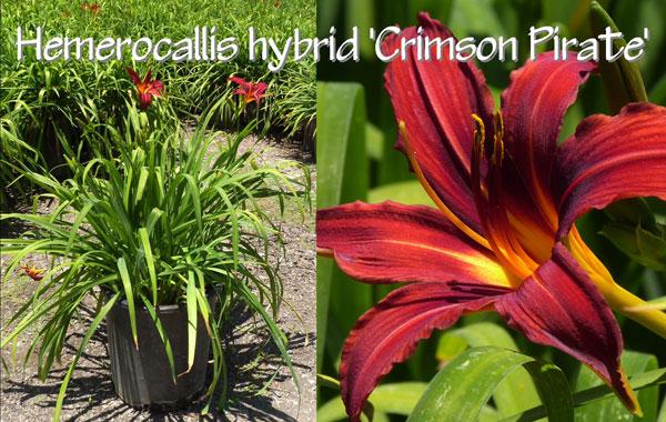 Hemerocallis-hybrid-'Crimson-Pirate'