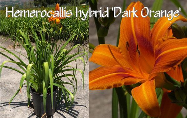 Hemerocallis-hybrid-'Dark-Orange'