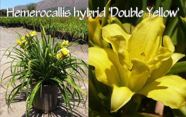 Hemerocallis-hybrid-'Double-Yellow'