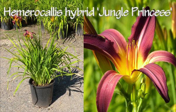 Hemerocallis-hybrid-'Jungle-Princess'