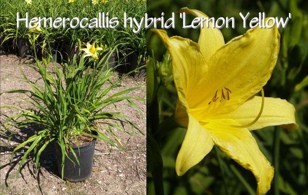 Hemerocallis-hybrid-'Lemon-Yellow'