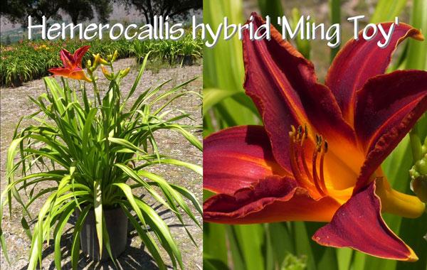 Hemerocallis-hybrid-'Ming-Toy'