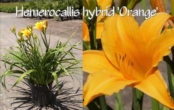 Hemerocallis-hybrid-'Orange'