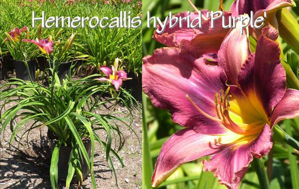 Hemerocallis-hybrid-'Purple'