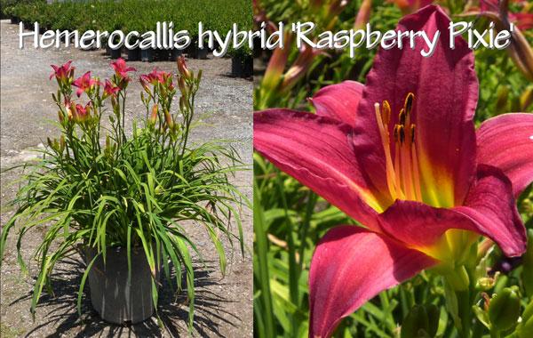 Hemerocallis-hybrid-'Raspberry-Pixie'