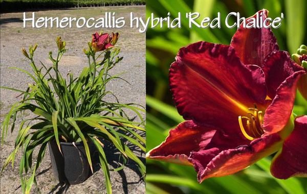 Hemerocallis-hybrid-'Red-Chalice'