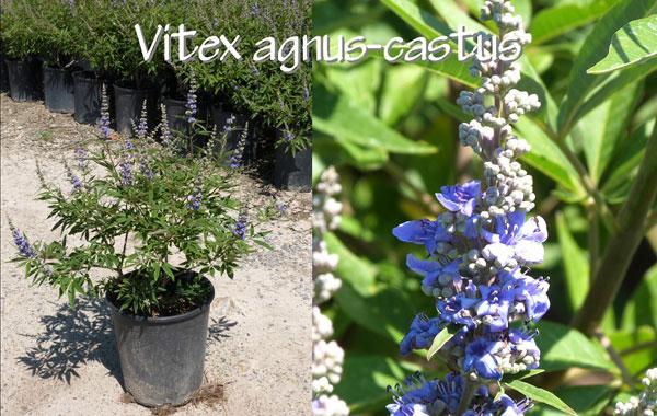 Vitex-agnus-castus