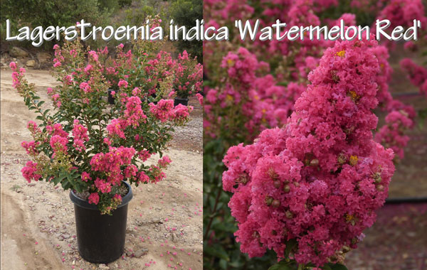 Lagerstroemia-indica-'Watermelon-Red'