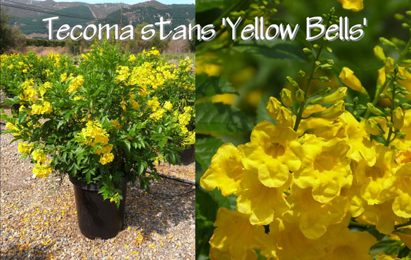 Tecoma-stans-'Yellow-Bells'
