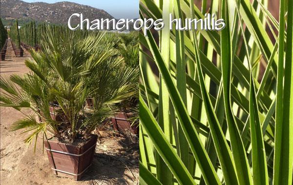 Chamerops-humilis
