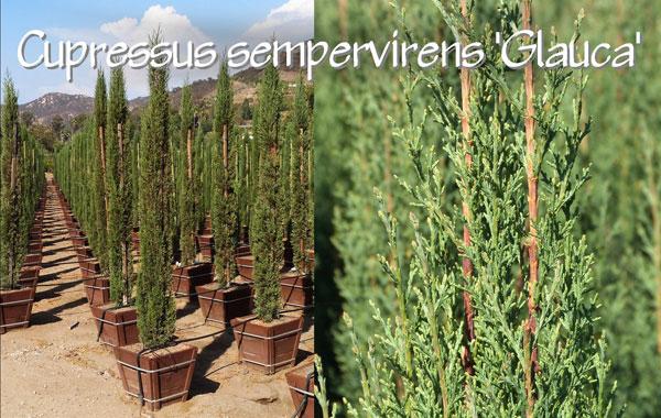Cupressus-sempervirens-'Glauca'