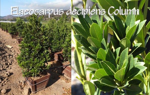 Elaeocarpus-decipiens-Column