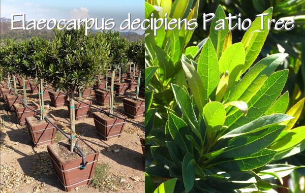 Elaeocarpus-decipiens-Patio-Tree