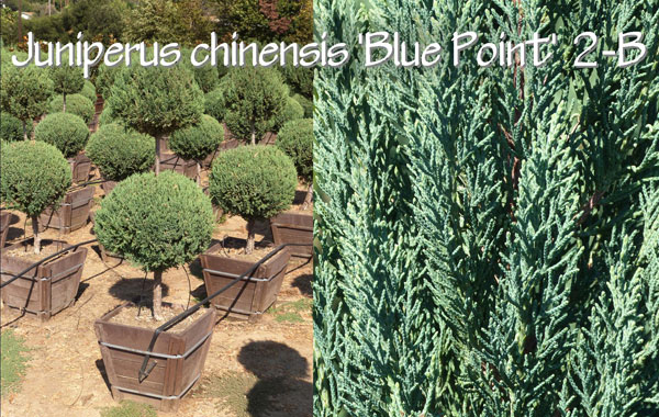 Juniperus-chinensis-'Blue-Point'-2-B